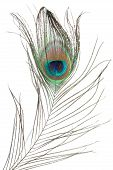 isolated peacock feather poster