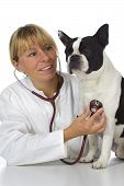female vet doctor with stethoscope and dog boston terrier poster