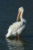 american pelican pausing while cleaning his plumage. poster