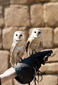 The Barn Owl (Tyto alba) is the most widely distributed species of owl and one of the most widespread of all birds. It is also referred to as Common Barn Owl to distinguish it from other species in the barn-owl family Tytonidae. poster
