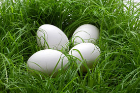 Eggs In The Lawn