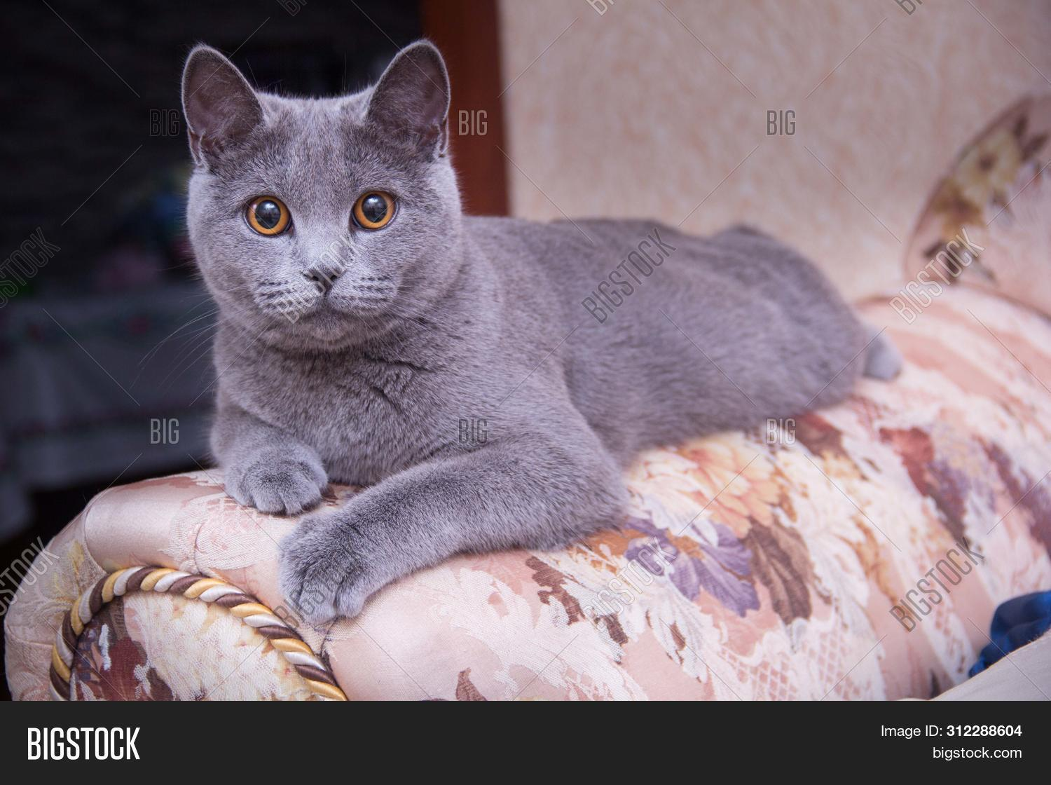 Cat Relaxing On Couch Image Photo