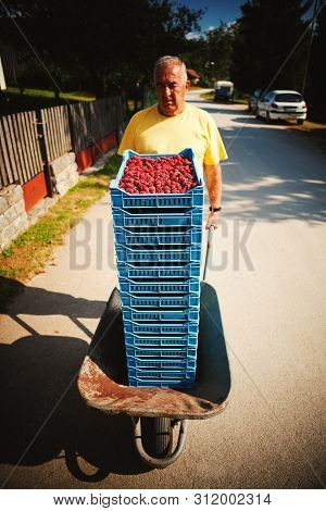 Delivering Of Fresh Raspberries, Village Lifestyle, Summer Season.