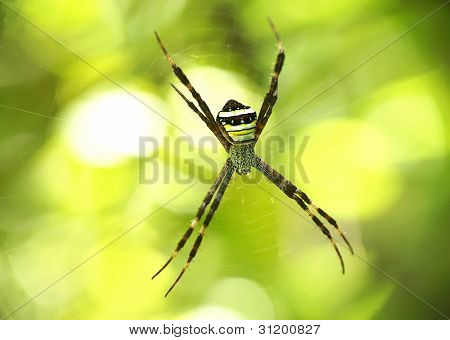 wasp spider on his web