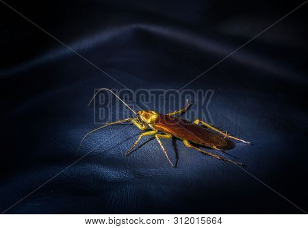 Cockroaches Are On The Leather Floor Of A Black Sofa At Night. The Concept Of Preventing Cockroaches