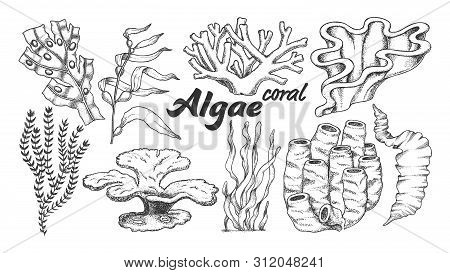 Collection Algae Seaweed Coral Set Vintage Vector. Different Algae Underwater Species, Marine Creatu