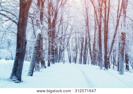 Winter landscape - snowy trees in winter forest in early morning. Winter landscape with forest trees. Tranquil winter nature in soft morning sunlight