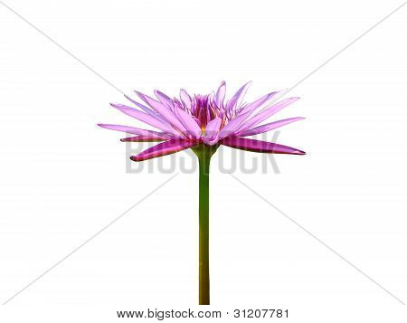 Blooming Violet Lotus Flower