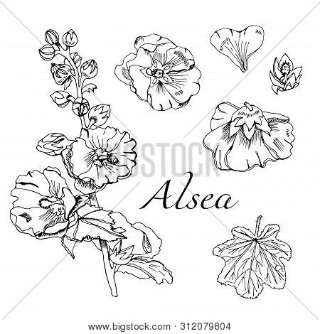 Set With  Bouquet And Single Flowers Of Mallow And Leaves. Hand Drawn Ink Sketch. Black Elements Of