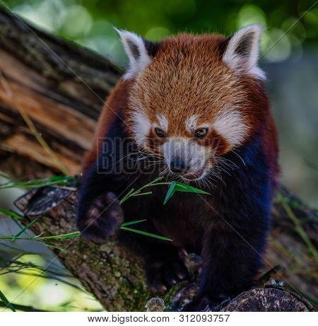 The Red Panda, Ailurus Fulgens, Also Called The Lesser Panda.