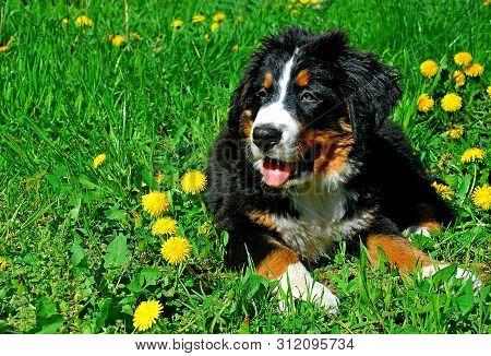 Bernese Mountain Dog Lying Posing In Spring Green Grass Field. Black White Brown Dog (bernese Mounta