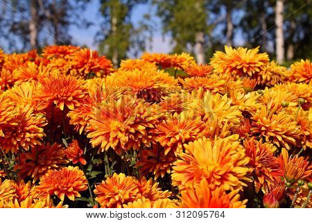 Early Autumn Orange Chrysanthemum Flowers On Green Birch & Blue Sky Background. Colorful Chrysanthem