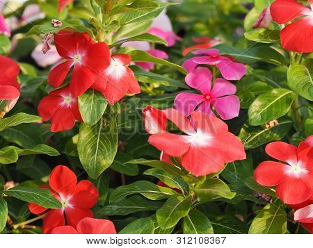 West Indian Periwinkle,  Bringht Eye, Vinca, Cayenne Jasmine, Old Maid, Catharanthus Roseus Name Red