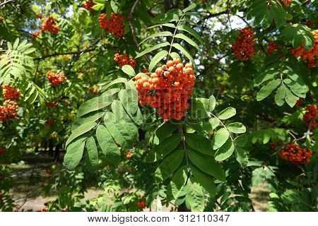 Corymb Of Orange Berries Of Sorbus Aucuparia