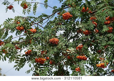 Dark Green Leaves And Orange Berries Of Sorbus Aucuparia In September