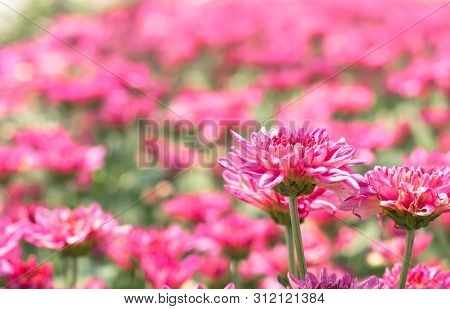 Many Red Pink Chrysanthemum Flower In Field.