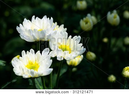 Many White Chrysanthemum Flower In Field.