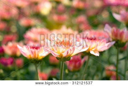 Many Orange White  Chrysanthemum Flower In Field.