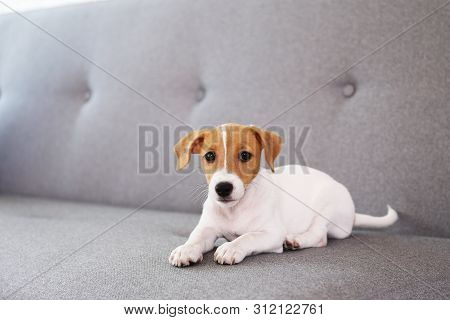 Tiny Adorable Jack Russell Terrier Puppy With Brown Stains On Face.