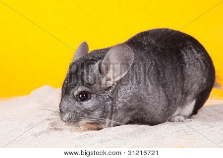 Silver Chinchilla bathing in white sand on yellow background poster