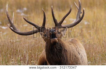 A Bull Elk Bugles While Laying Down During Rutting Season
