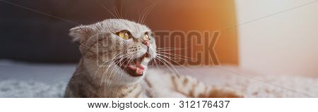 panoramic shot of scottish fold cat meowing and looking away poster