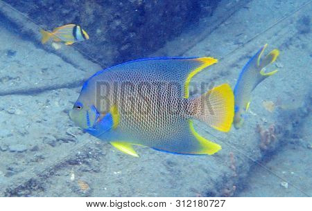 Queen Angelfish Swimming Among The Rock And Coral Reef In The Ocean.  Holacanthus Ciliaris Or Queen