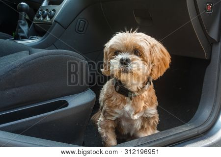 Lhasa Apso Dog Sitting On The Floor In A Car