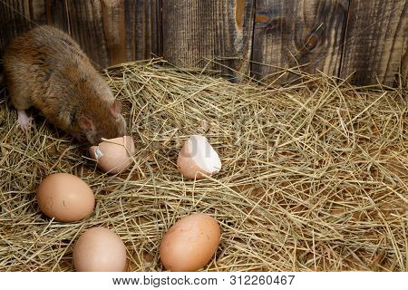 Close-up The Young Rat Rattus Norvegicus  Eats Egg In The Chicken Coop. Top View.  Concept Of Rodent
