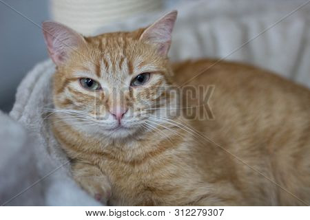 Beige Streaky Cat Looking Directly To The Camera