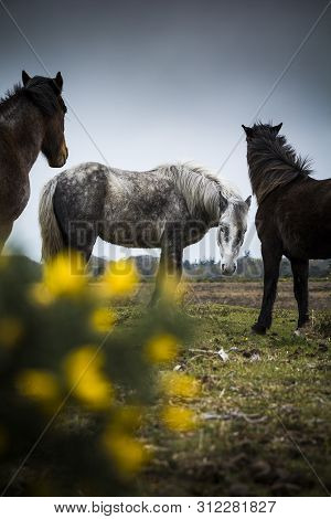 New Forest Ponies Grazing Under Moody Sky In Hampshire