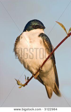 Tree Swallow (Tachycineta bicolor) sitting on a small shrub lit by evening sun poster