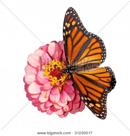 Dorsal view of a female Monarch butterfly, Danaus plexippus, feeding on a pink flower; on white background