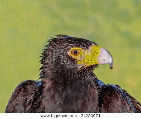 Black Eagle Head Profile