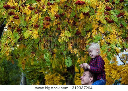 Blond Boy In A Plaid Shirt Sits On His Father's Shoulders. Stand Under Rowan. Autumn, Yellow Leaves