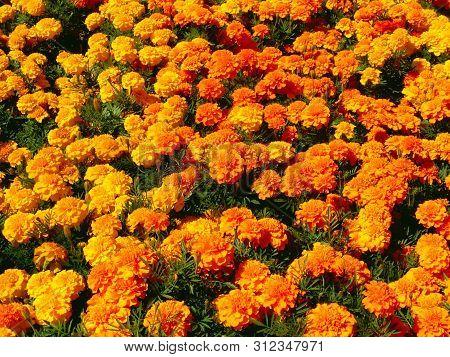 Beautiful Orange Red Marigold Flowers & Leaves Background Pattern In Tagetes Garden. Close-up Marigo