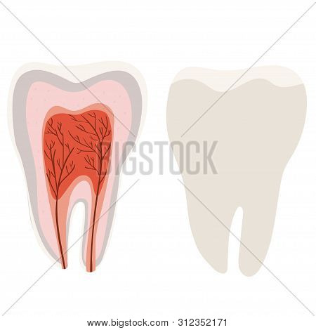 Tooth Structure Diagram Of The Incision Of The Tooth. Vector Image Isolated On White Background.