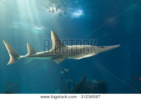 Giant guitarfish (Rhynchobatus djiddensis)