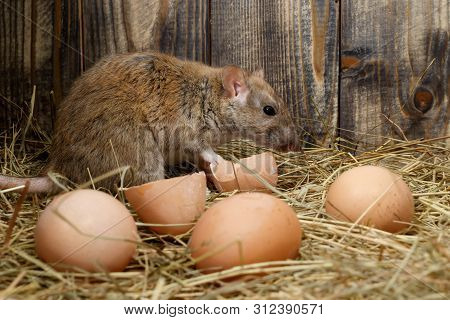 Close-up The Rat (rattus Norvegicus)   And Hens Eggs In The Chicken Coop On The Background Of Wood B