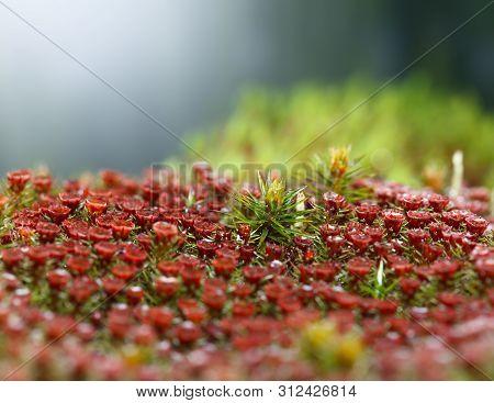 Macro Of Red Sporophytes Of Juniper Haircap Moss (polytrichum Commune)