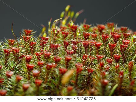 Macro Of Red Sporophytes Of Blooming Haircap Moss (polytrichum Commune)