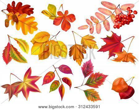 Autumn Leaf. Maple Fall Leaves, Fallen Foliage And Autumnal Nature Leafage. September Oak, Acorn Or