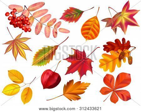 Color Autumn Leaves. Fallen Leaves, Colored Dry Leaf And Yellow Leaves. Rowan, Oak Or Maple Foliage