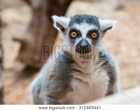 Mammals Primates Grey Ring Tailed Lemur Face Closeup