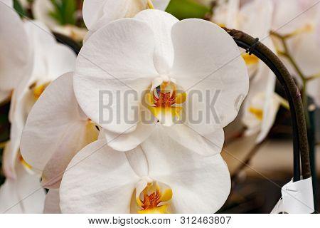 Flora Flowers White Phalaenopsis Orchid Pair Closeup