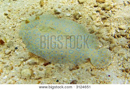 Flowery flounder on a shallow Cayman Island Reef poster
