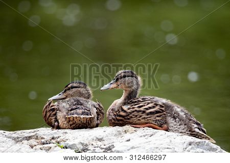 Fauna Birds Migratory Mallard Duck Pair Resting Pond Background