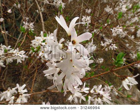 A White Forsythia