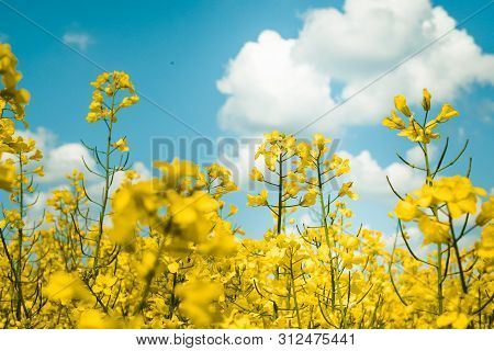 Rapeseed Field, Blooming Rapeseed Rapeseed Flowers Close Up.  Flowering Rapeseed. Against The Blue S