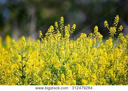 Flora Flowers Wildflowers Yellow Goldenrod Background Backgrounds